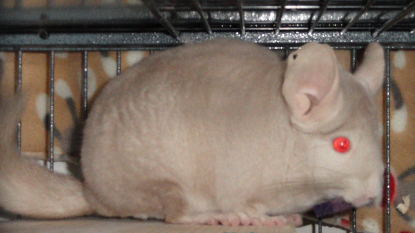 Chinchilla For Sale >> Owning A Chinchilla Before You Get A Chinchilla